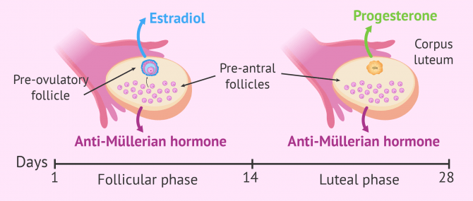 Imagen: What hormones do the ovaries produce?