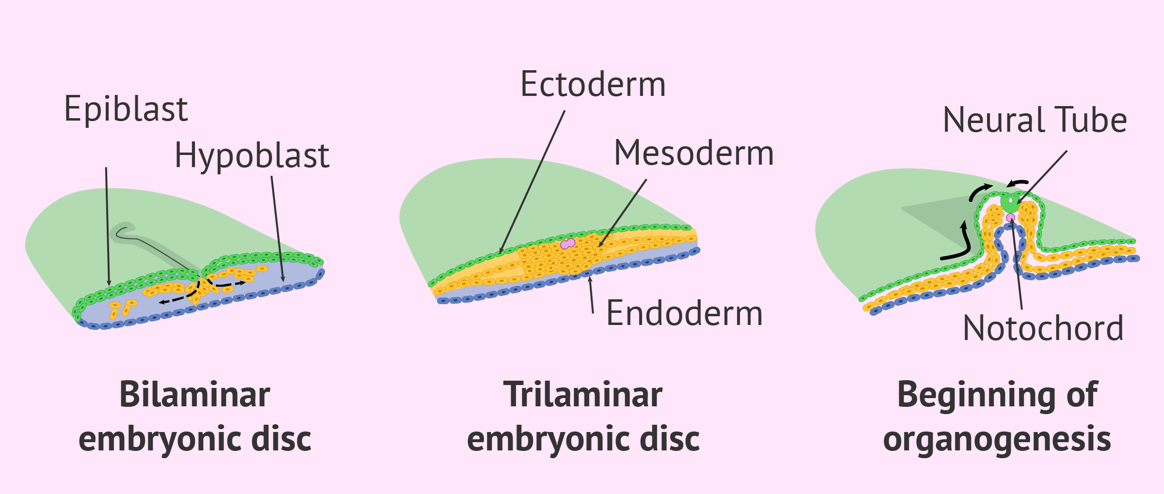 Trilaminar embryonic disc formation