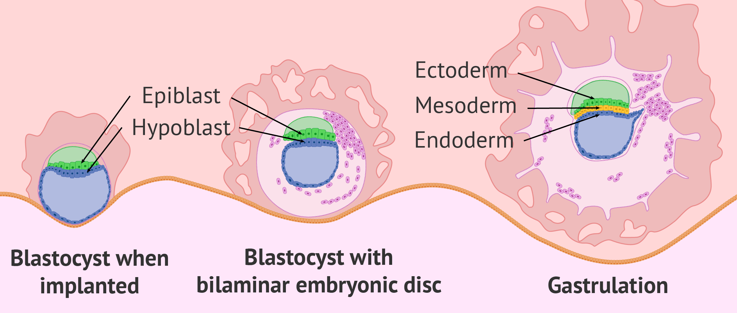 What Is the Purpose of Gastrulation in Embryonic Development?