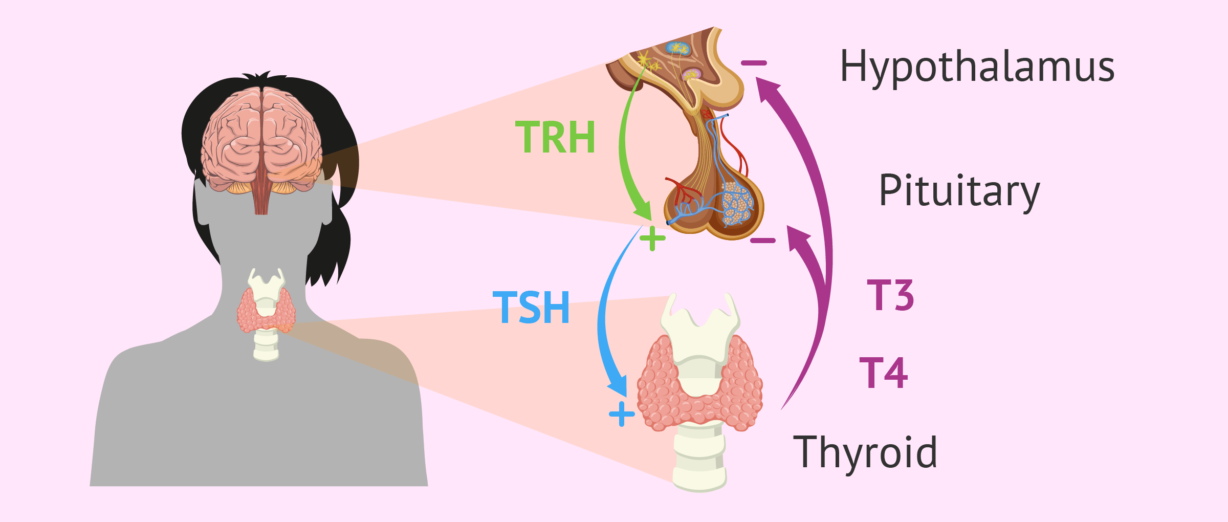 Thyroid gland and hormones regulations