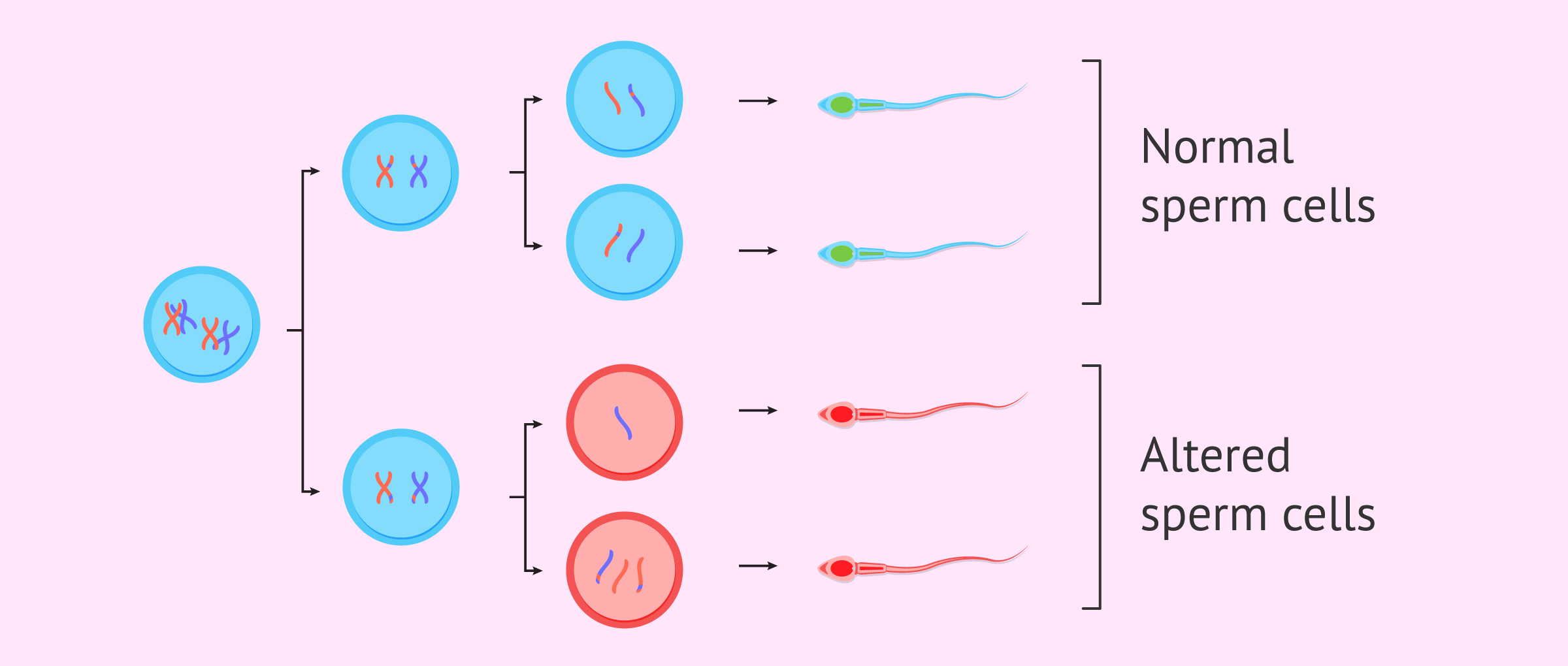 Imagen: What is Spermatogenesis?
