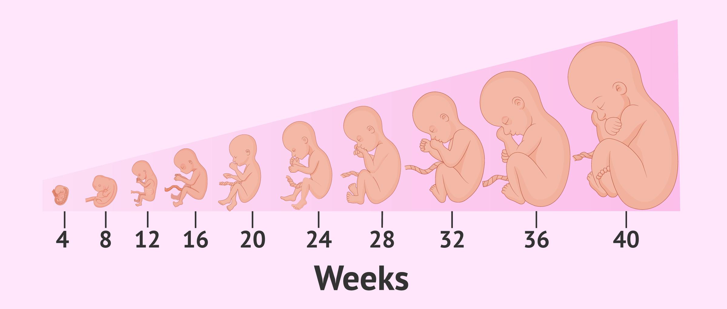 Pregnancy – Symptoms, Care & Fetal Development