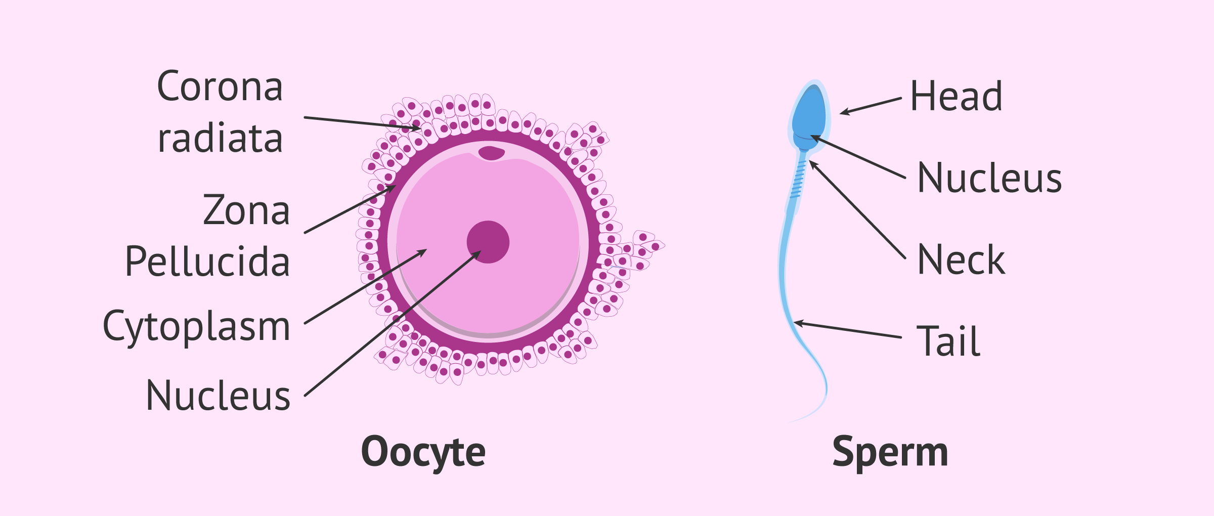 gamete egg and sperm