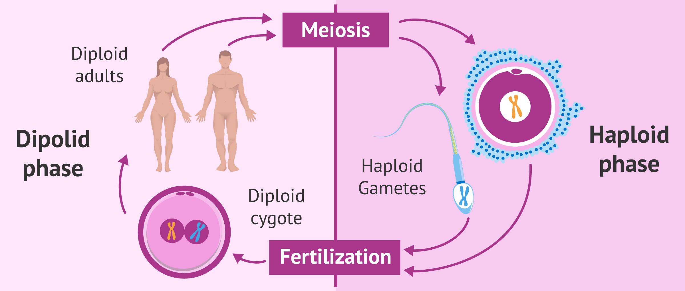 meiosis definition