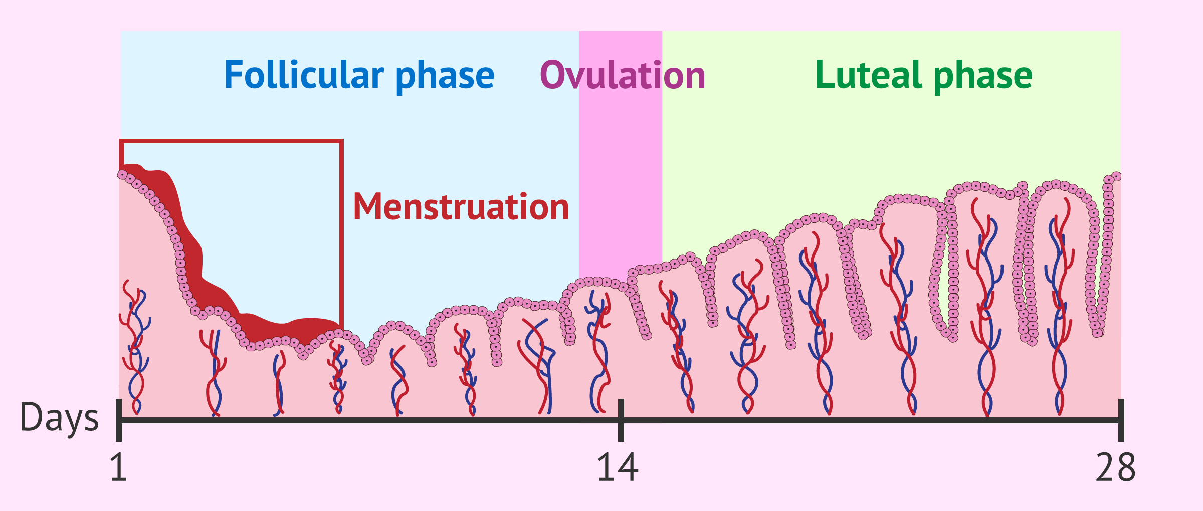 Imagen: Changes in the endometrium during menstruational cycle