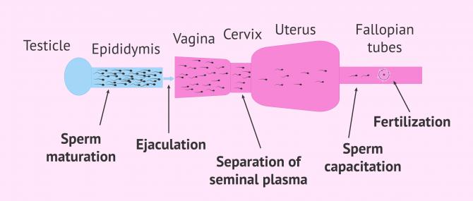 Imagen: Natural sperm capacitation process