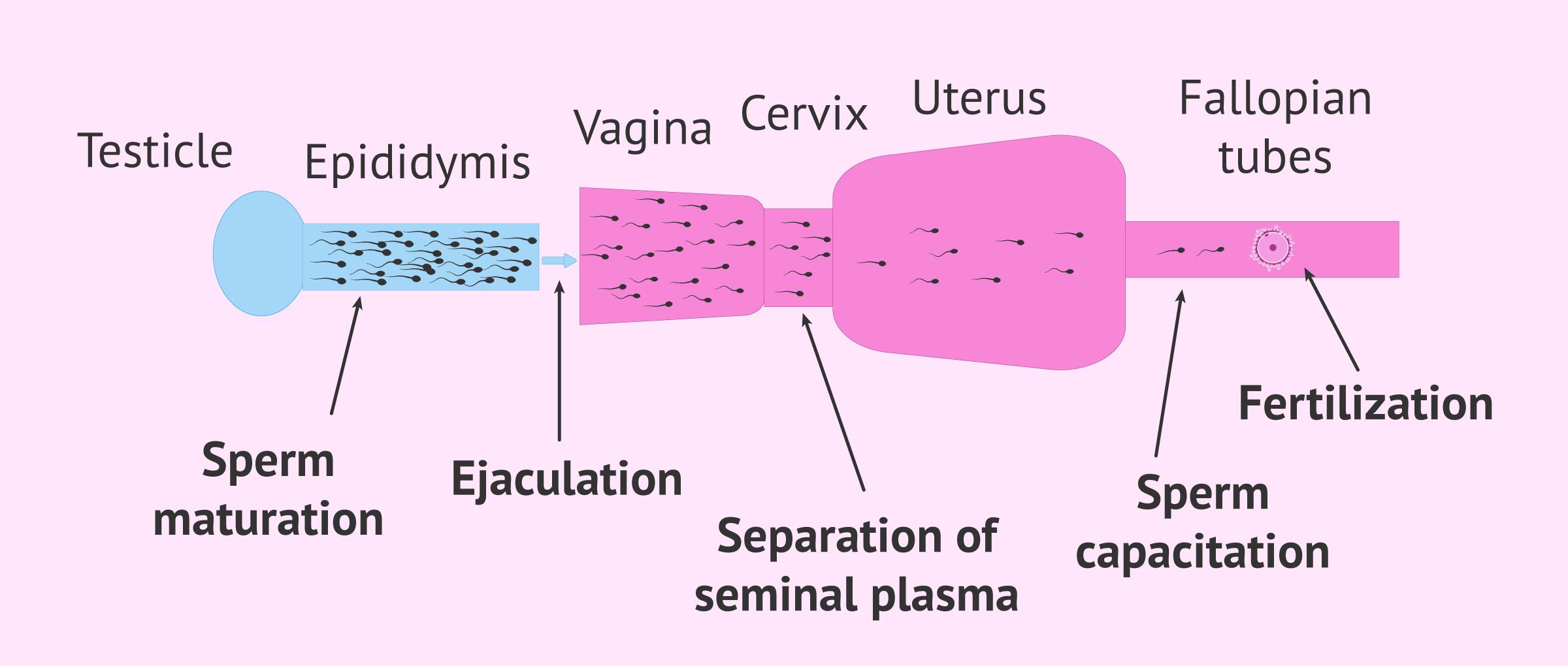 Natural sperm capacitation process