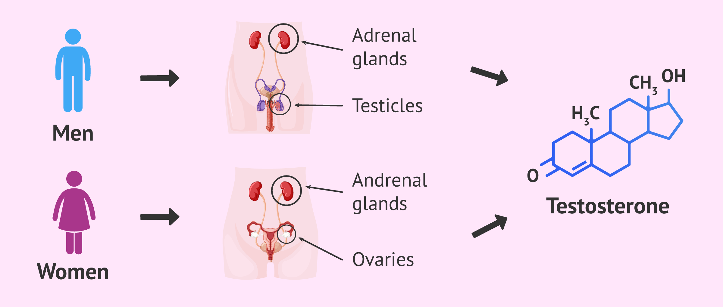 Imagen: How testosterone is formed