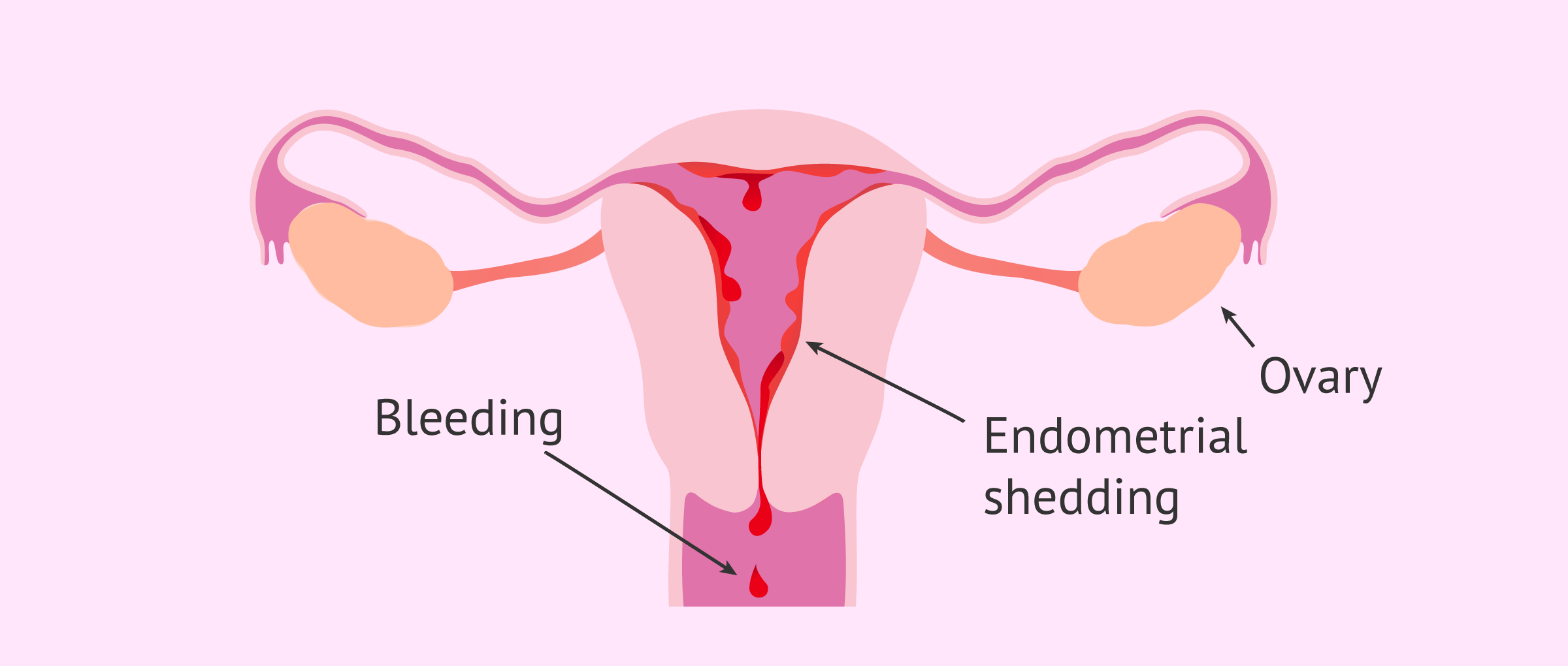 Endometrium in the menstruation