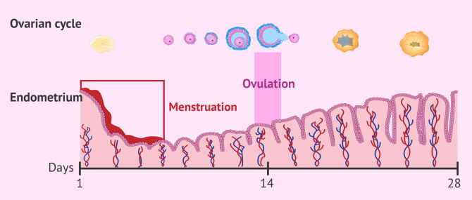 Ovulation and menstruation at the same time: is this possible?