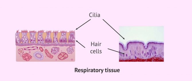 Imagen: Ciliary Respiratory Epithelium and Kartagener's Syndrome
