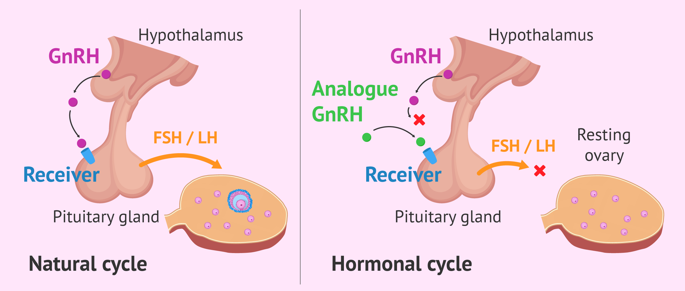 Operation of the GnRH analogs