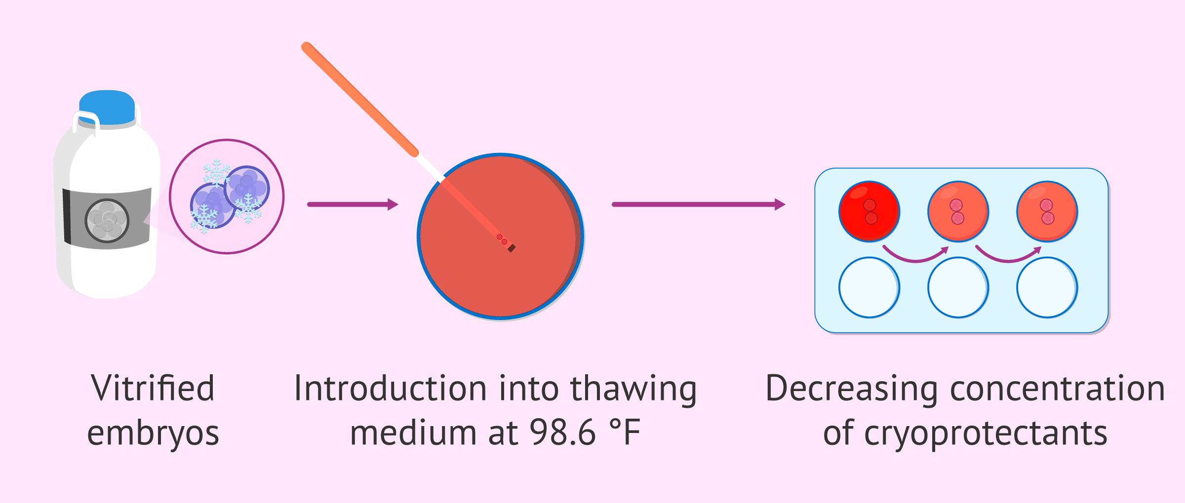 Embryo devitrification process
