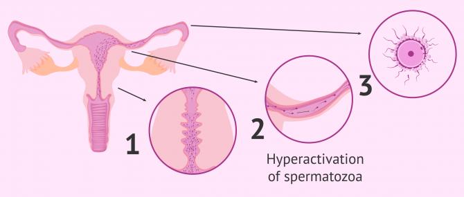 Imagen: Natural sperm capacitation
