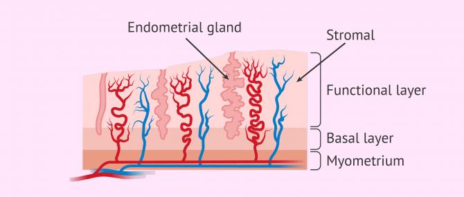 Imagen: Endometrial changes